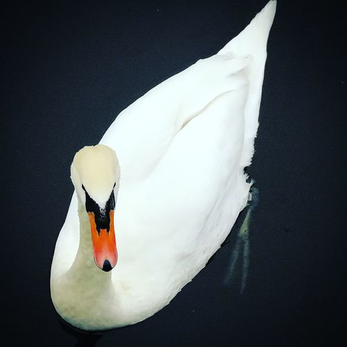 Animal Themes Animal Wildlife Animals In The Wild Beak Beauty In Nature Bird Close-up Day Feather  Nature No People One Animal Outdoors Swan Swimming White Color