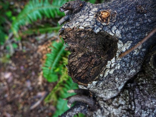 Face In The Tree Frog Pacific Northwest  Cascadia Tree Tree Stump Tree Trunk Textured  Forest Wood - Material Log Close-up