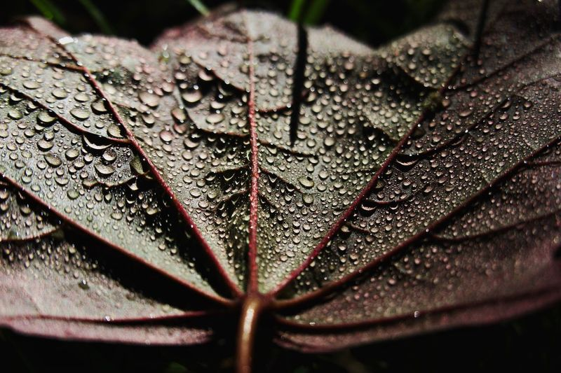 Close-up Selective Focus Water Drop Plant Part Leaf Beauty In Nature Vulnerability  Growth Nature Freshness Fragility RainDrop Leaves Outdoors No People Day Dew Wet Plant