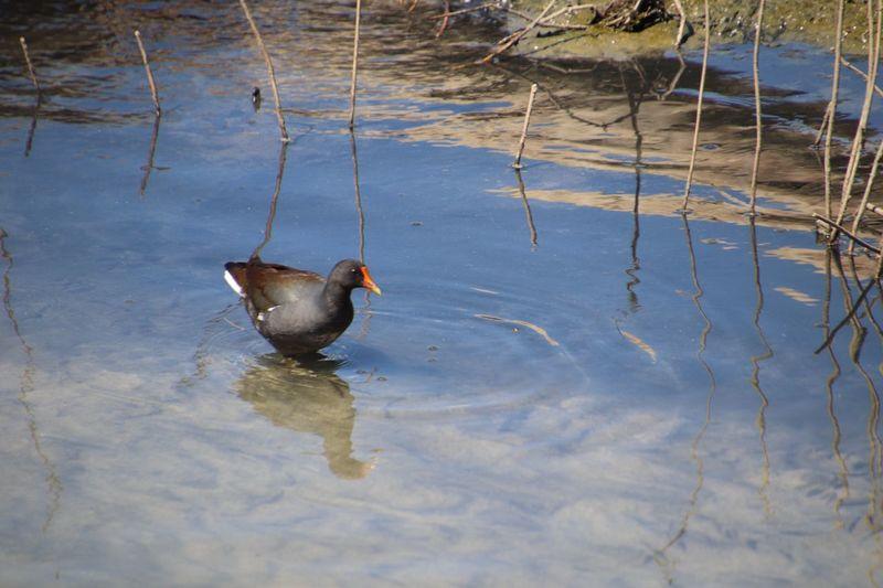 EyeEm Selects Animal Themes Animal Water Vertebrate Bird Lake Animal Wildlife Duck Poultry