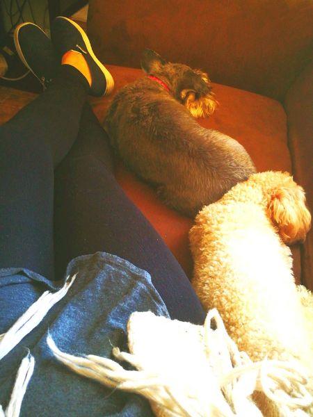 Petsagram Schnauzerlove Frenchpoodle Sunday Morning SundayFunday Naptime Indoors  Bed Bedroom People Mammal Day