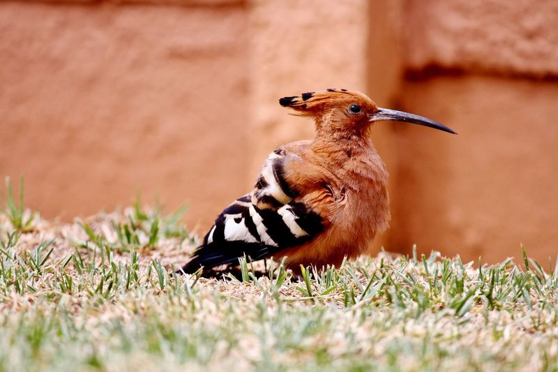Surface Level Of Hoopoe On Grassy Field