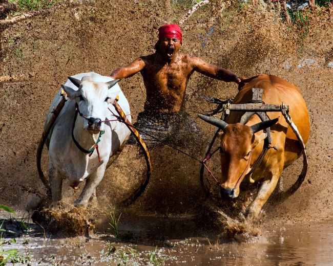 Shirtless man with cows running on muddy field during pacu jawi