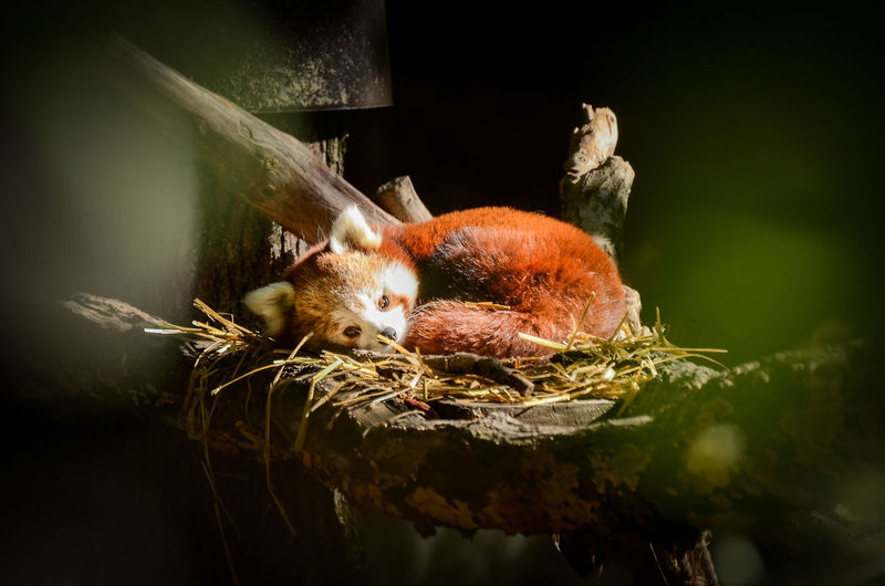 Red panda - firefox sleeping in a nest Animal Themes Day Firefox FirefoxOS Home Nature Nest No People Outdoors Panda Red Panda Rest Resting Sleep Sleeping Zoo