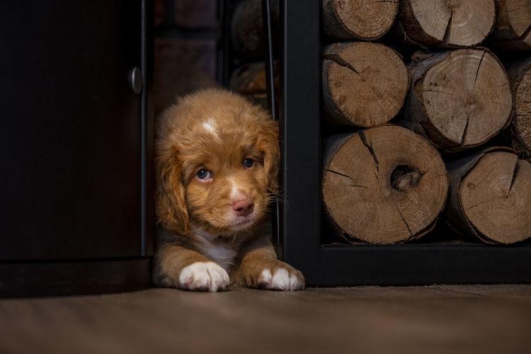 Portrait of dog resting on wooden floor