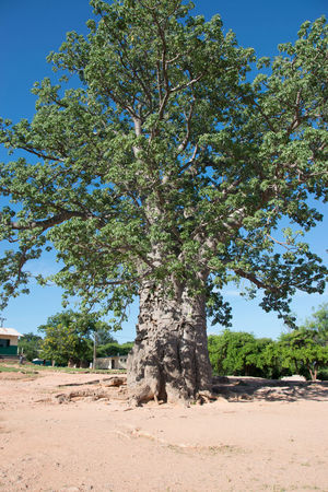 Baobab Growing Huge Tree Luangwa Nature One Tree Tree Zambia