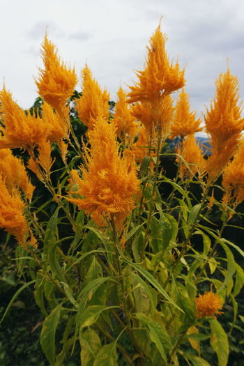 Close-up of yellow flowering plants against orange sky