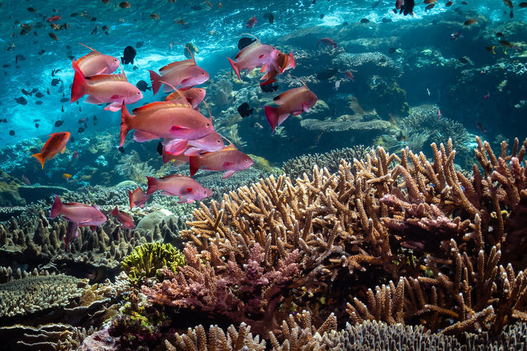 indonesia Animal Wildlife Underwater Animal Water Animal Themes Animals In The Wild Fish Sea Life Sea UnderSea Coral Marine Invertebrate Swimming Vertebrate Group Of Animals Nature No People Large Group Of Animals School Of Fish Ecosystem