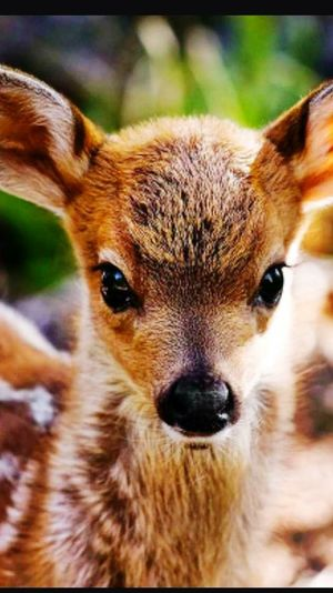 Baby deer Looking At Camera Animal One Animal No People Day Outdoors Beautiful Animal Portrait. Animal Wildlife Close-up Peaceful Moment Smiling Beautiful ♥ Beauty In Nature Portrait Mammal Ear Animal Themes Nature