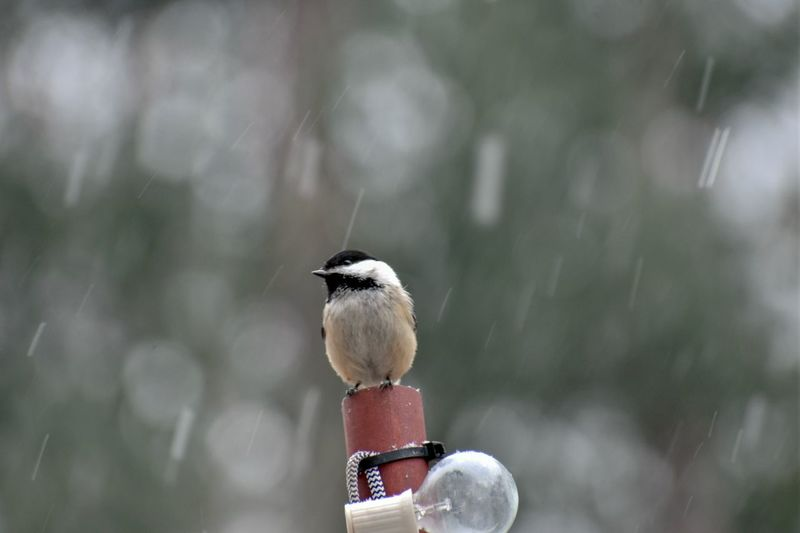 Freezing rain Weather Chickadee EyeEm Selects Animals In The Wild Animal Themes Bird One Animal Focus On Foreground Day Close-up Animal Wildlife Nature Perching No People Outdoors
