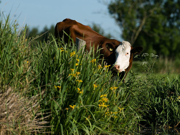 A Cow on a Dike Animal Themes Cow Curious Animals Dike Field Grass No People One Animal Outdoors Sky