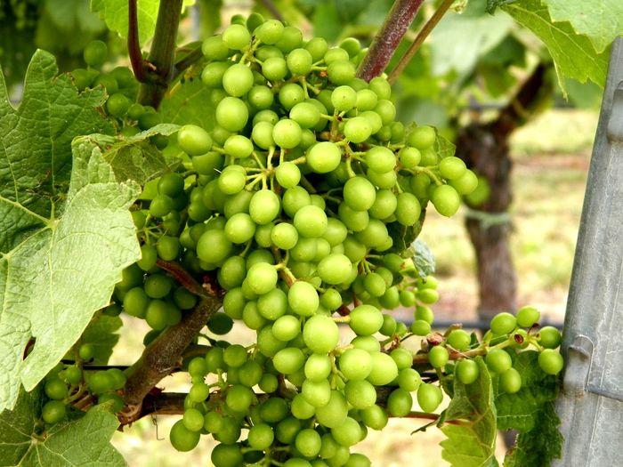 Tree Fruit Vine