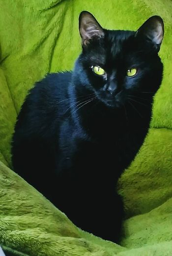 Colour Of Life Black Cat Green Papasan Chair Green Eyes Black Velvet    Inner Beauty  Calming Mellow Cat Relaxing Moments Colorado Springs CO USA