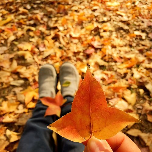 Low Section Of Person Holding Autumn Leaf Whole Sitting On Field