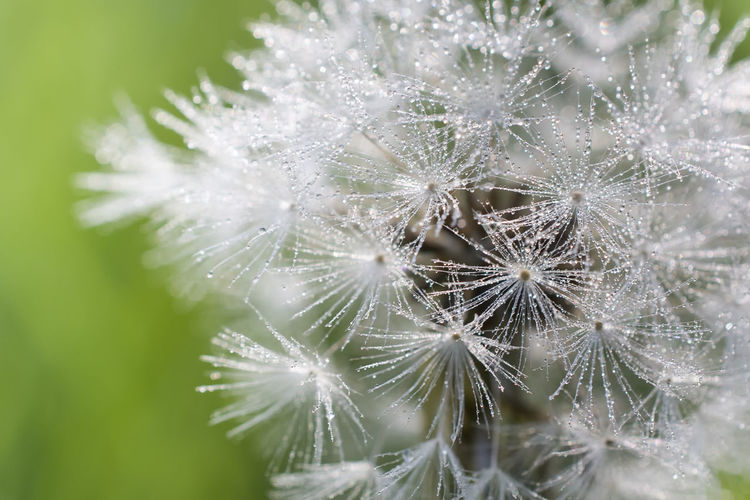 Some backyard action, or lack of I guess! macro shot of a Dandelion Beautiful Weeds Beauty In Nature Close-up Dandelion Dandelion Seed Dandelion Seeds Day Dew Dew Drops Flower Focus On Foreground Fragility Freshness Growth Macro Macro_collection Macro Photography Nature Nikon D810 No People Outdoors Plant Seeds Of Life Weed Hotel Art