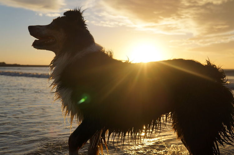 Animal Animal Themes Beauty In Nature Dog Domestic Animals EyeEm Best Shots Eyeemphotography Nature One Animal Outdoors Sea Sun Sunlight Sunset Tranquil Scene Tranquility Water