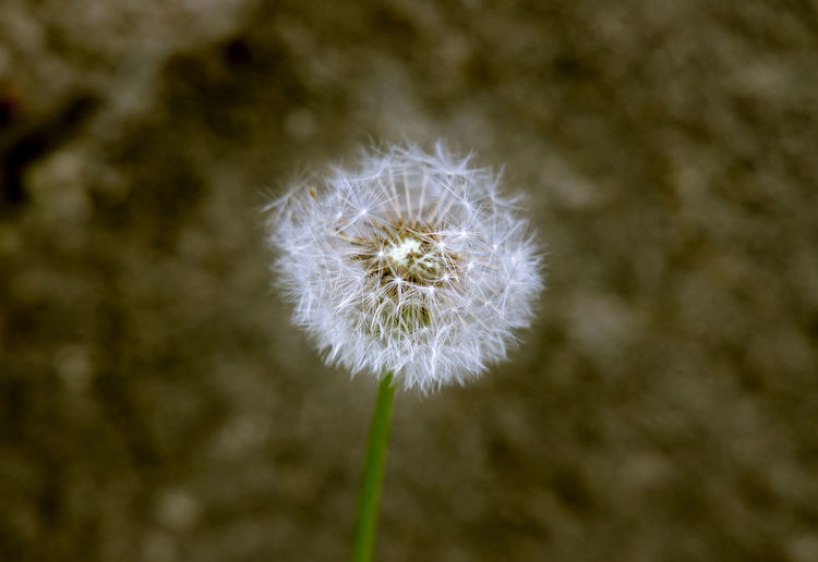 spring flower Flower Softness Outdoors Dandelion Seed Day White Color Focus On Foreground No People Nature Growth Dandelion Flower Head Beauty In Nature Close-up Inflorescence Plant Fragility Vulnerability  Flowering Plant Freshness