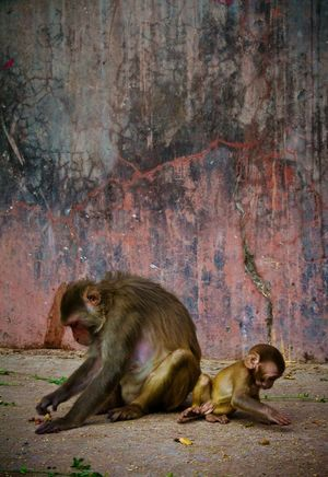 Mother and baby from the Monkey Temple of Jaipur. Mother And Son Mother Son Mother And Daughter Mother And Child Mother And Baby Mother & Daughter Daughter Mother & Son Monkeys Monkey Temple Monkeytemple Monkey Temple India Indiapictures Jaipur Travel Photography Travel Indian Temples Animal Photography Animals Animal Indian Animals First Eyeem Photo
