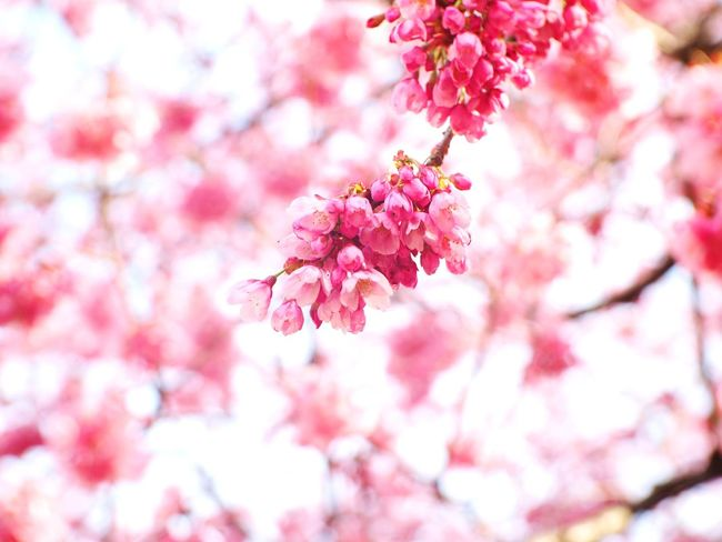 How can I forget the beautiful of it~~ EyeEm Selects Cherry Blossom Pink Color 🌸spring Day 日本2017年 From My Lens Beauty In Nature Viewfrommyeyes Fujian 35mm Travel Destinations