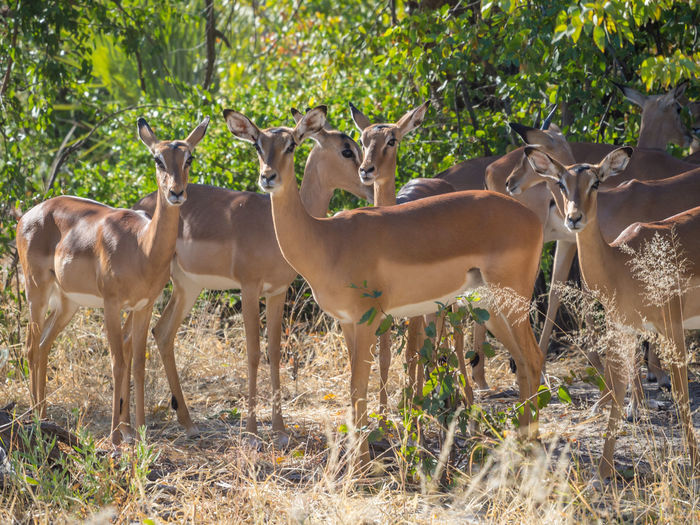 Herd of black faced impala antelopes standing in forest at moremi national park, botswana, africa