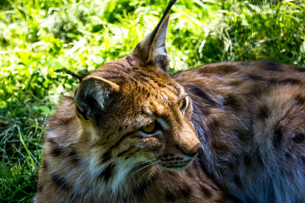 Animal Head  Animal Themes Animal Wildlife Animals In The Wild Close-up Day Grass Lion - Feline Luchs Lyn Lynx Mammal Nature No People One Animal Outdoors