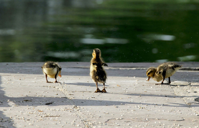 Ducklings perching at lakeshore