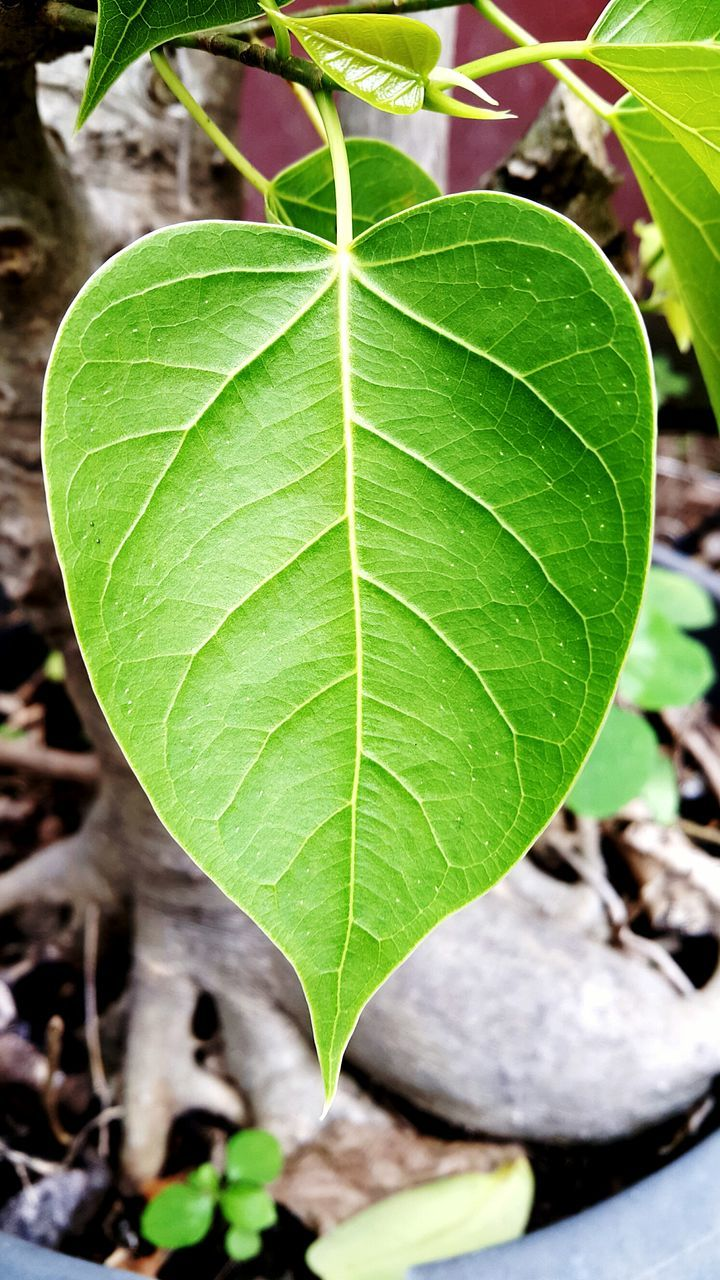 leaf, growth, close-up, green color, nature, day, fragility, freshness, outdoors, focus on foreground, plant, no people