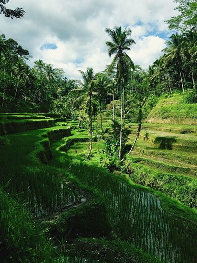 Ricefields Tegalalang Bali Indonesia Photography  Color Palette Been There. An Eye For Travel
