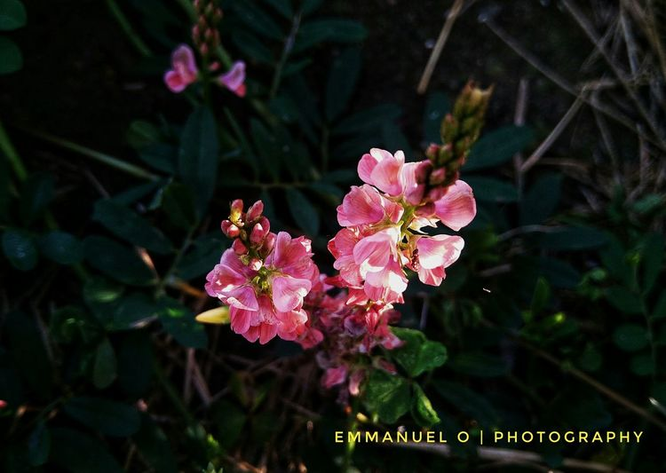 Rosy weeds in the morning light. Pink Color Love Nature Nature Photography South Africa Congolese Eyemphotography Flower Pink Color Nature Plant Growth Day Outdoors Flower Head No People Fragility Freshness Close-up Beauty In Nature Inner Power The Great Outdoors - 2018 EyeEm Awards