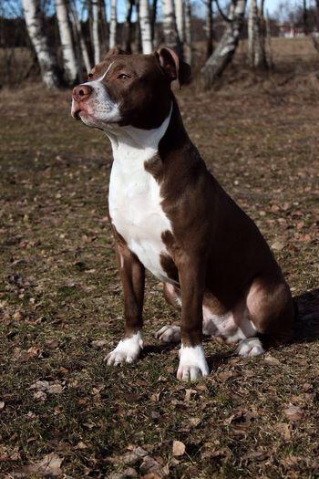 babyy Pitbull 6 Months Taking Photos Hanging Out