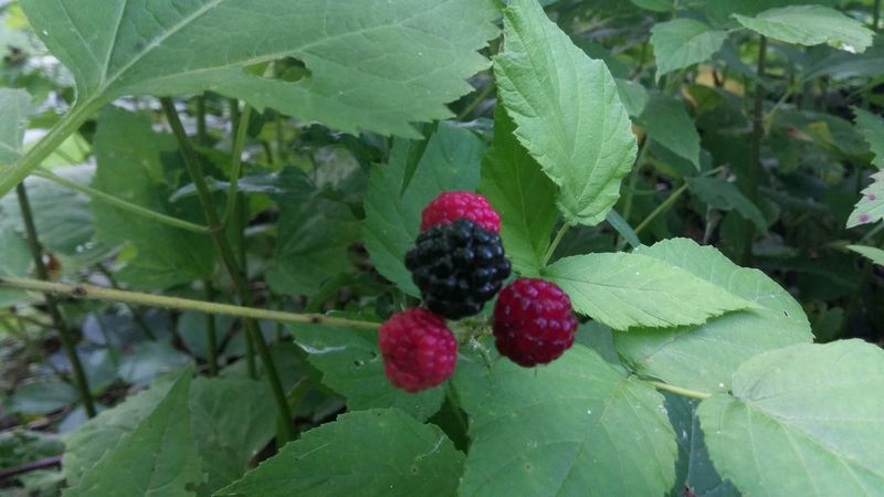 Food Porn Awards Nature On Your Doorstep Outdoors Berries Plants And Flowers Summer2015 Raspberries Yum