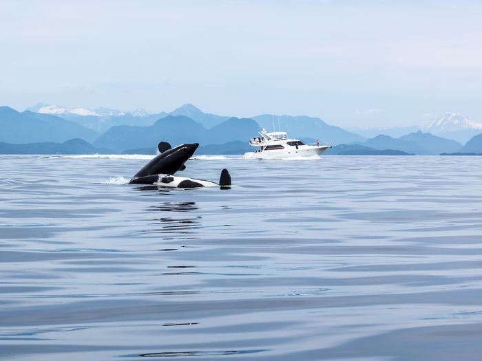 Animal Themes Animal Wildlife Animals In The Wild Bc BC, Canada Beauty In Nature Bird Canada Coastline Day Killer Whale Killer Whales Mountain No People Ocean Ocean View Orca Orcas Outdoors Scenics Sea Sky Swimming Tranquility Whale