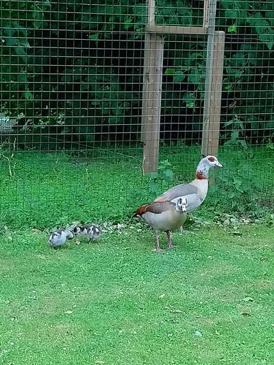 Animal Wildlife Bird Beauty In Nature Freshness Taking Photos Mother And Chicks My Adventures Caister Great Yarmouth Uk