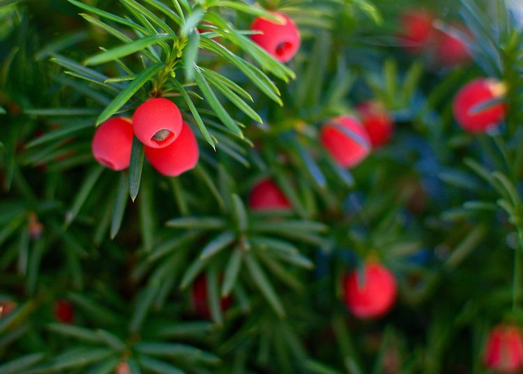 Taxus Taxus Baccata Plant Tree Red Christmas Green Color Close-up Growth Nature Plant Part Decoration Christmas Decoration Celebration No People Plant Tree Red Christmas Green Color Close-up Growth Nature Plant Part Decoration Christmas Decoration Celebration No People