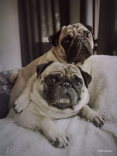 Puglife Funny Dogs  Best Friends I Love My Dog The Moment - 2015 EyeEm Awards Bromance