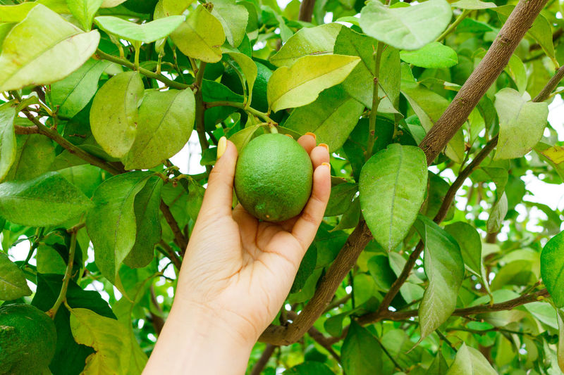 Cropped image of hand holding fruit on tree