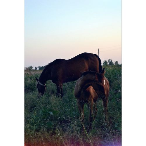 Side View Of Horses Grazing On Grassy Field