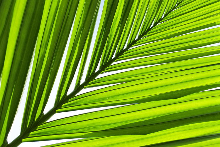 Green betel