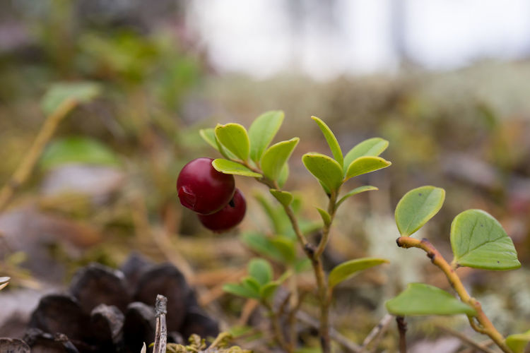 Lingonberry Beauty In Nature Close-up Focus On Foreground Lingon Lingonberries Nature Outdoors Plant