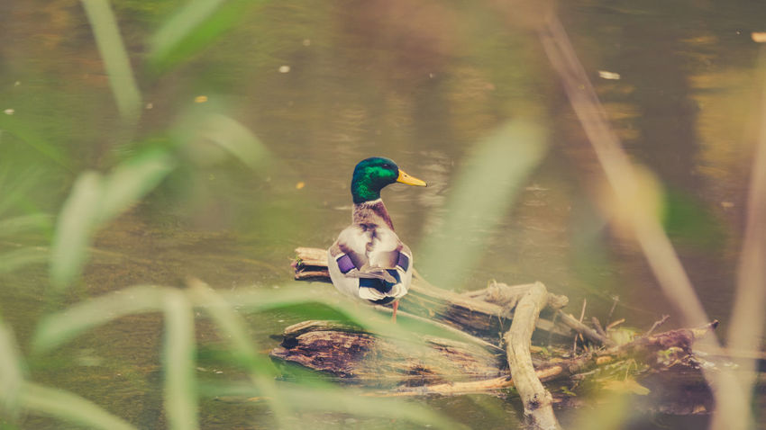 Duck in Bamberg Animal Themes Bamberg  Bavaria Bayern Beauty In Nature Bird Day Deutschland Duck Ente Europe Franken Germany Grass Green Color Hain Bamberg Nature No People Oberfranken Outdoors UNESCO World Heritage Site Water Wildlife