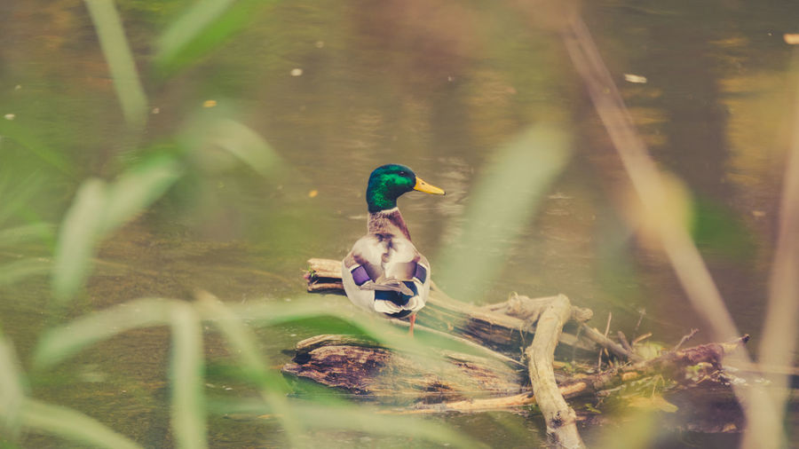 High Angle View Of Duck Standing On Log In Lake