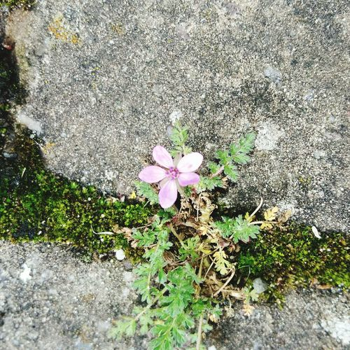 Cute Little Pink Flower Growing in the Moss between Pathing Stones . Featuring High Angle View Growth Day Nature Outdoors Plant No People Fragility Petal Field Beauty In Nature Flower Head Grass Blooming Freshness Close-up Fragility In Nature Beauty In Nature