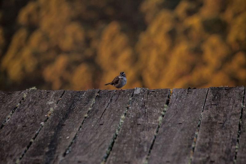 Sparrow perching at edge of boardwalk