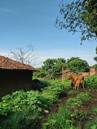 Outdoors Nature Rancho Cows Casa De Adobe Vacas Ganado Mexico Jalisco