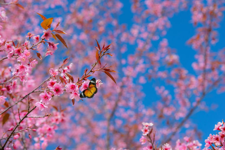 Beautiful sakura or cherry blossom in spring on blue sky , nature background Plant Fragility Flowering Plant Flower Animal Wildlife Growth Springtime Freshness Nature Branch Blossom Cherry Blossom Outdoors Animals In The Wild Insect Butterfly Sakura Sakura Blossom Blue Sky Pink Color Love Valentine Romantic Romance Aroma