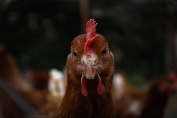 Close-up portrait of rooster
