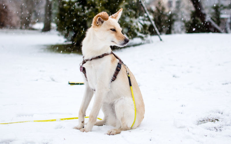 Ebby Nikon Animal Animal Themes Canine Cold Temperature Day Dog Domestic Domestic Animals Field Ice Cold Land Looking Mammal Nature Nikonphotography No People One Animal Pets Snow Snowing Vertebrate White Color Winter
