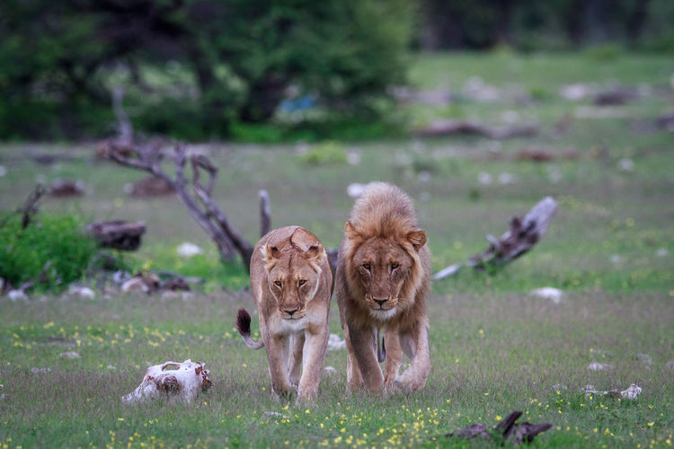 Lion and lioness walking on land