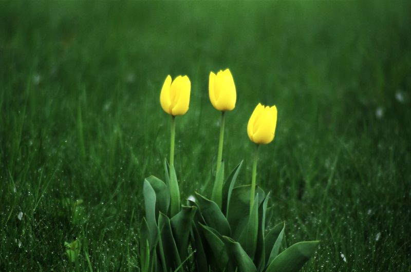 Yellow flowers. Beauty In Nature Blooming Close-up Crocus Day Field Flower Flower Head Fragility Freshness Grass Green Color Growth Nature No People Outdoors Petal Plant Snowdrop Yellow