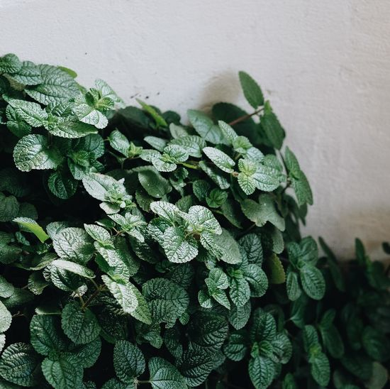 Beauty In Nature Close-up Day Focus On Foreground Food Food And Drink Freshness Green Color Growth Healthy Eating Herb Leaf Mint Leaf - Culinary Nature No People Outdoors Plant Plant Part Potted Plant Wall - Building Feature